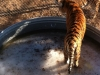 Wild Animal Sanctuary Near Denver, Colorado has rescued more than 300 animals including lions, tigers bears and mountain lions. 